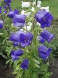 Blommor för blått för klockblomma (blåklocka) vita och Arkivbilder