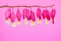 Blommor för blödande hjärtor Fotografering för Bildbyråer