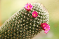 Blommor för blomningkaktus liten scharlakansrött Royaltyfri Bild
