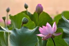 Blommor för blomningrosa färger wterlily Arkivfoto