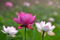 Blommor för blomningrosa färger wterlily Royaltyfria Foton