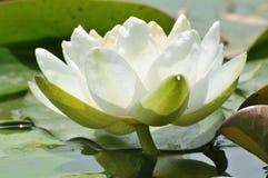 Blommor för blomningvit wterlily Arkivfoton