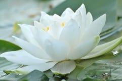 Blommor för blomningvit wterlily Royaltyfri Foto