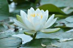 Blommor för blomningvit wterlily Royaltyfria Bilder