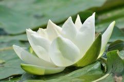 Blommor för blomningvit wterlily Arkivfoto