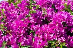 Blommor för bougainvillea (bougainvilleaspectabilis) Arkivbild