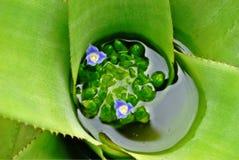 Blommor för Bromélia ` s Arkivbilder