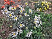 Blommor för buskig aster i trädgård arkivfoton