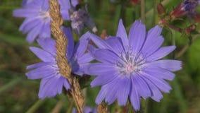 Blommor för cikoria för blå medicinsk ört gemensamma (Cichoriumintybus) stock video