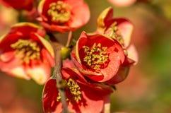 Blommor för Closeupfotochaenomeles royaltyfri fotografi