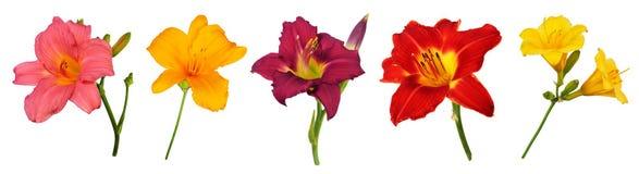 Blommor för Daylilies som (Hemerocallis) isoleras på vit Arkivfoton