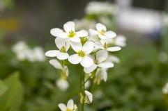 Blommor för den dekorativa trädgården för Arabiscaucasicaen vaggar vita, berg kryddkrasse i blom Fotografering för Bildbyråer