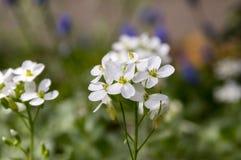 Blommor för den dekorativa trädgården för Arabiscaucasicaen vaggar vita, berg kryddkrasse i blom Royaltyfri Bild