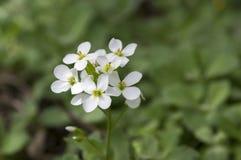Blommor för den dekorativa trädgården för Arabiscaucasicaen vaggar vita, berg kryddkrasse i blom Royaltyfri Foto