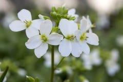 Blommor för den dekorativa trädgården för Arabiscaucasicaen vaggar vita, berg kryddkrasse i blom Arkivbild