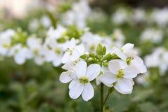 Blommor för den dekorativa trädgården för Arabiscaucasicaen vaggar vita, berg kryddkrasse i blom Royaltyfri Fotografi