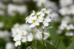 Blommor för den dekorativa trädgården för Arabiscaucasicaen vaggar vita, berg kryddkrasse i blom Arkivfoton