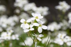 Blommor för den dekorativa trädgården för Arabiscaucasicaen vaggar vita, berg kryddkrasse i blom Royaltyfria Bilder