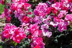 Blommor för en raddarosa färg royaltyfria foton
