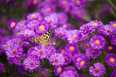 Blommor för för Vanessa carduifjäril och lilor Royaltyfri Foto