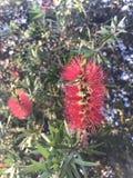 Blommor för flaskborste Royaltyfri Bild