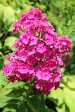 Blommor för floxdrummondiirosa färger på gräsplan lämnar bakgrund Royaltyfria Foton