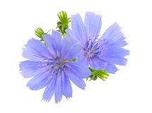 Blommor för gemensam cikoria eller Cichoriumintybus Isolerat på vit Fotografering för Bildbyråer