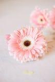 Blommor för gerbera för symboler för dag för valentin` s mjuka och hjärtagodisar Royaltyfria Foton