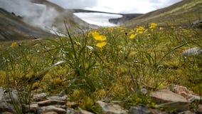 Blommor för grönt gräs och gulingi den termiska dalen iceland lager videofilmer