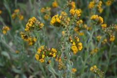 Blommor för guling för nationell monument för Carrizo slättar fotografering för bildbyråer