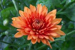 blommor för höstchrysanthemumblomma Arkivbilder