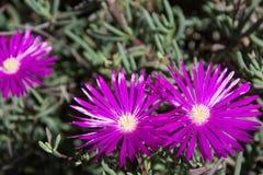 Blommor för isväxt Royaltyfria Foton