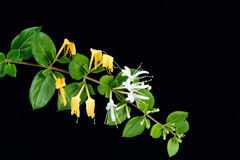 Blommor för japansk kaprifol Royaltyfri Bild