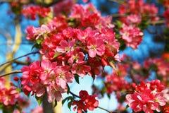 Blommor för japansk kvitten Royaltyfri Foto