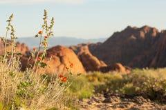 Blommor för jordklotmalva blommar framme av de förstenade dyerna i snökanjondelstatspark i sydliga Utah arkivbilder