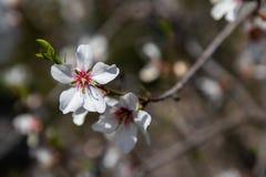 Blommor för körsbärsröd blomning stänger sig upp med suddig bakgrund arkivfoto