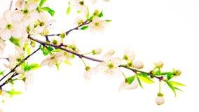 Blommor för körsbärsröd blomning, Time-schackningsperiod arkivfilmer