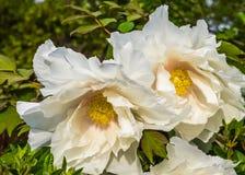 Blommor för Kalifornien trädvallmo i closeup, stora vita blommor i blom under vårsäsongen, naturbakgrund fotografering för bildbyråer