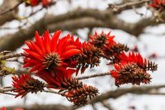 Blommor för korallträd Arkivfoto