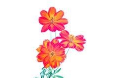 Blommor för kosmossulphureus- eller gulingkosmos Arkivbild