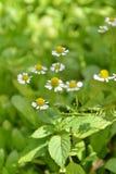 Blommor för lös kamomill Arkivfoto