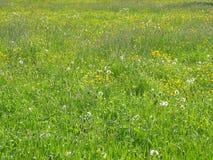 Blommor för Maj soliga fältguling royaltyfri bild