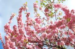Blommor för mandelträd Fotografering för Bildbyråer