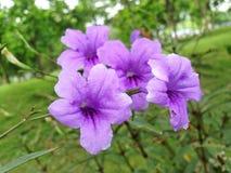Blommor för mexicanska petunia- eller Ruellia Brittoniana lilor royaltyfria foton