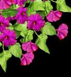 Blommor för morgonhärlighet Arkivbild