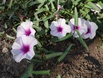 Blommor för morgonhärlighet royaltyfri foto