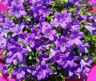 Blommor för naturdetaljlilor Royaltyfri Foto