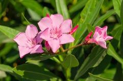 Blommor för oleander för Ð-¡ hic rosa på en solig sommardag ? av Krete fotografering för bildbyråer