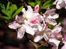Blommor för pastellfärgade rosa färger för azalea Fotografering för Bildbyråer