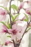 Blommor för persikaträd Royaltyfri Fotografi